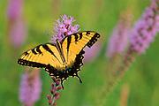 Yellow Swallowtail on Blazing Star - Mississippi