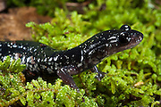 Chattahoochee Slimy Salamander (Plethodon chattahoochee)<br /> CAPTIVE<br /> North Georgia<br /> USA<br /> HABITAT & RANGE: Burrows & root tunnels and terrestrial under surface objects. Blue Ridge mountains of Northern Georgia and Cherokee County of North Carolina.