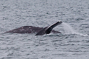A pair of gray whales (Eschrichtius robustus) swim in Puget Sound near Everett, Washington.