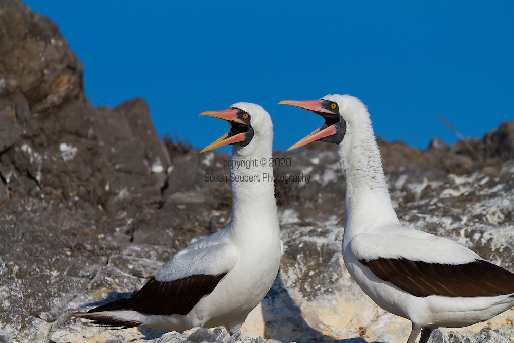 The Southeastern Island of Espanola in the Galapgos National Park, in Ecuador, South America which is home to sea lions, marine iguanas, blue footed boobies, and Nazca Boobies plus many different species of animals and birds.  Here, a pair of Nazca Boobies at their nesting site on the cliffs above the Pacific Ocean.