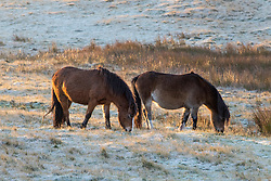 © Licensed to London News Pictures. 23/11/2020.  Builth Wells, Powys, Wales, UK. Welsh mountain ponies graze at dawn on the Mynydd Epynt range in Powys after temperatures dropped to around freezing last night near Builth Wells in Powys, UK. Photo credit: Graham M. Lawrence/LNP