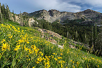 Wildflowers cover the hillside in Utah's Albion Basin at the top of Little Cottonwood Canyon.