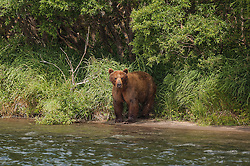 Kamchatkan Brown bears eat sockeye salmon in Kurilskoye Lake in the southern tip of the Russian peninsula August 10, 2007. The salmon and bears are both threatened as poachers and hunters pay large sums in a depressed economy.