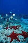 panamic cushion stars, Pentaceraster cumingi, and barberfish, Johnrandallia nigrirostris, Galapagos Islands, Ecuador,  ( Eastern Pacific )