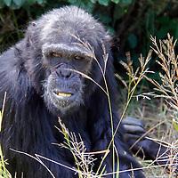Africa, Kenya, Nanyuki. Chimpanzee at the Sweetwaters Chimpanzee Sanctuary.