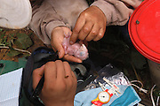 Peru - Monday, Dec 09 2002: Researchers inspect a very young Scarlet Macaw chick for a scientific programme based at the Tambopata Research Centre, Puerto Maldonado. (Photo by Peter Horrell / http://www.peterhorrell.com)
