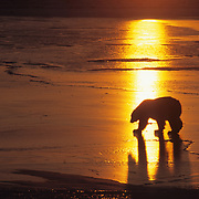 Polar Bear (Ursus maritimus) on the frozen ice of Hudson Bay during sunset. Canada