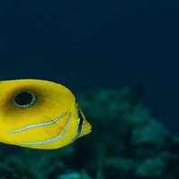 Eclipse Butterflyfish, Chaetodon bennetti Cuvier, 1831, Maldives