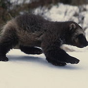 Wolverine, (Gulo gulo) Young kit in snow. Rocky mountains. Montana. Spring. Captive Animal.