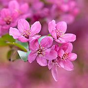 FLOWERING CRABAPPLE - MALUS 'PRAIRIFIRE'