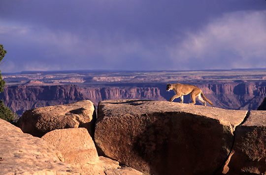 Mountain Lion, (Felis concolor) In canyonlands of southern Utah. Captive Animal.