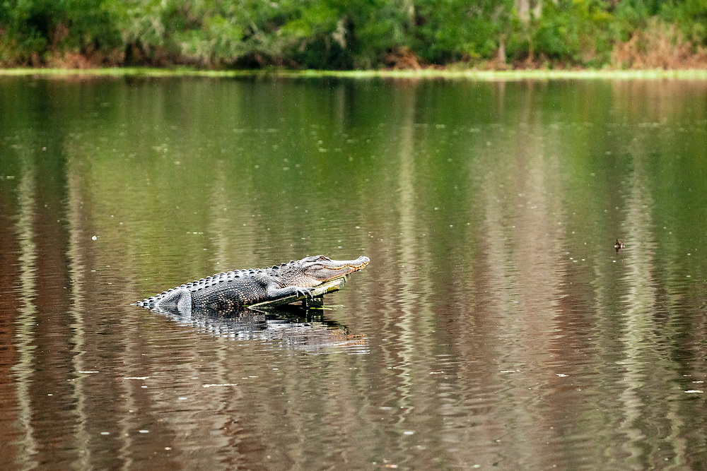 An alligator lounges in the lake at Magnolia Plantation and Gardens in Charleston, South Carolina on Monday, December 31, 2018. Copyright 2018 Jason Barnette