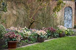 Pots of hellebores in John Massey's garden. Left to right: Helleborus Rodney Davey Marbled Group 'Penny's Pink', Helleborus × nigercors 'Emma', Helleborus 'Harvington Rebekah'.