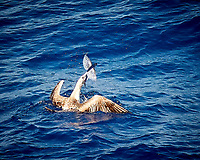 Brown Booby with a Flying Fish for Lunch. Image taken from the deck of the MV World Odyssey while crossing the Pacific Ocean from Hawaii to Japan. Semester at Sea -- Spring 2016 Voyage -- Day 10. Image taken with a Nikon 1 V3 camera and 70-300 mm VR lens (147 mm, ISO 400, f/5.3, 1/1000 sec).