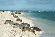 green sea turtles, Chelonia mydas ( Threatened Species ) basking on beach at the primary breeding area for this species in the Hawaiian archipelago, East Island, French Frigate Shoals, Papahanaumokuakea Marine National Monument, Northwest Hawaiian Islands, Hawaii, USA ( Central Pacific Ocean ); basking on shore is a behavior that is only regularly observed in sea turtles in Hawaii and one other location