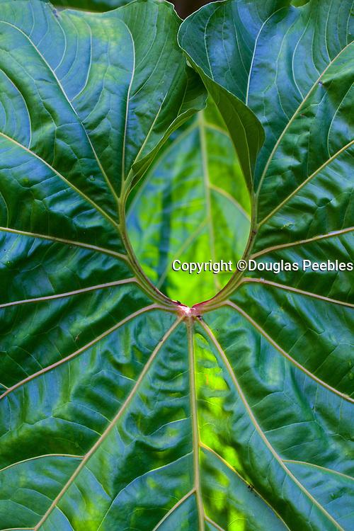 Giant anthurium leaf, Hawaii Tropical Botanical Garden, Onemea, Hamakua coast, Island of Hawaii