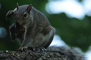 Squirrel scratching as he holds his nut in his mouth to avoid losing it as he sits on a tree branch