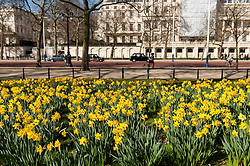 © Licensed to London News Pictures. 14/03/2016. London, UK. Daffodils are in bloom in St. James' Park in central London on a fine spring day.  A high pressure system over much of the UK is expected to bring dry weather for the rest of this week Photo credit : Stephen Chung/LNP