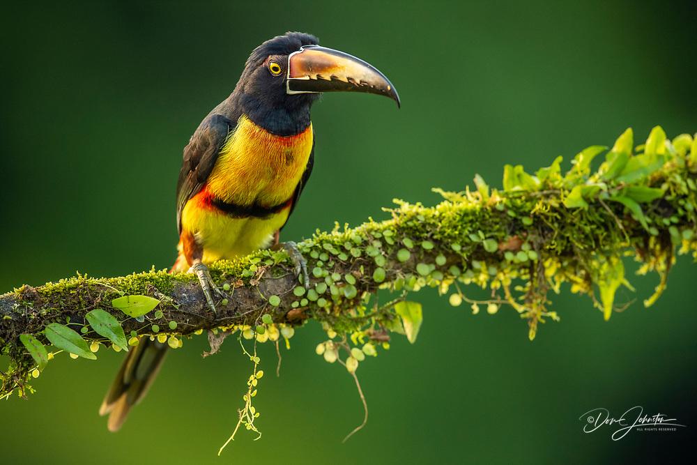 Collared aracari  (Pteroglossus torquatus), Laguna del lagarto, Alajuela, Costa Rica