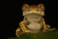 Unidentified tree frog.