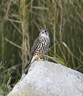 Merlin - Falco columbarius - juvenile. W 60-65cm. Our smallest raptor. Typically seen dashing flight, low over in pursuit of prey such as Meadow Pipit. Also perches on fence posts or rocky outcrops. Sexes are dissimilar. Adult male has blue-grey upperparts and buffish, streaked and spotted underparts. In flight from above, note contrast between blue-grey back, inner wings and tail, and dark wing tips and dark terminal band on tail. Adult female has brown upperparts and pale underparts with large, brown spots. In flight from above, upperparts look rather uniformly brown with numerous bars on wings and tail. Juvenile resembles adult female. Voice Mostly silent but shrill kee-kee-kee… is uttered in alarm near nest. Status Scarce breeding season, found on upland moorland in spring and summer. Outside breeding season, moves S and to lowland areas and numbers boosted by migrants from Iceland.