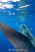 photographer James D. Watt and whale shark ( Rhincodon typus ), Kona Coast of Hawaii Island ( the Big Island ) Hawaiian Islands ( Central Pacific Ocean ) MR 357
