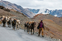 A pack of horses, Leh-Manali Highway, Himachal Pradesh, India.