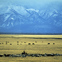 MONGOLIA, Darhad Valley herder moves around her sheep, yaks and cattle below the Horidol Saridag Mountains.