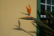 Bird of Paradise Flower casts a shadow growing outside a house in La Palma, Canary Islands, Spain. Strelitzia is a genus of five species of perennial plants, belonging to the plant family Strelitziaceae. A common name of the genus is bird of paradise flower / plant, because of a resemblance of its flowers to birds-of-paradise. It is also commonly known as a crane flower. La Palma, also San Miguel de La Palma, is the most north-westerly Canary Island in Spain. La Palma has an area of 706 km2 making it the fifth largest of the seven main Canary Islands.