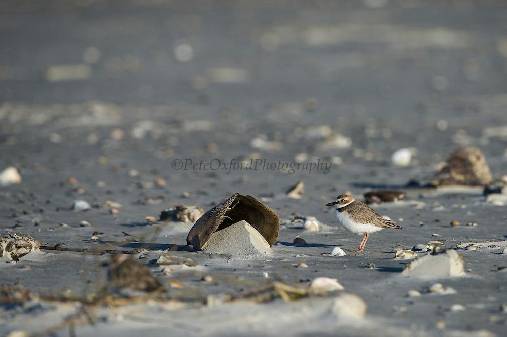 Wilson's Plover (Charadrius wilsonia)<br /> Little St Simon's Island, Barrier Islands, Georgia<br /> USA<br /> RANGE: Both coasts of USA and west coast of Mexico<br /> Migratatory bird