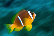 Israel, Eilat, Red Sea, - Underwater photograph of a Red Sea or two-banded clownfish (Amphiprion bicinctus)