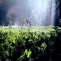 Corn lilies in a lodgepole pine clearing near Crane Flat in Yosemite Nationl Park, California,