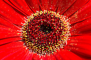 Red Daisy Stock Photo