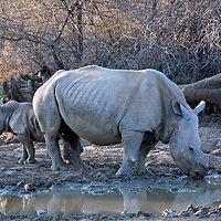 Africa, South Africa, Kwandwe. The Southern White Rhino mother and calf.