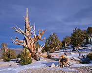 CAEWM_09 - USA, California, Inyo National Forest, Ancient Bristlecone Pine Forest Area, Evening light defines an old bristlecone pine at the Patriarch Grove in the White Mountains.