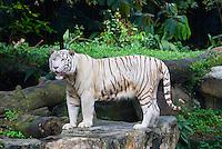 Singapour. Zoo de Singapour. Tigre blanc de Sumatra. // Singapore. Zoo. White tiger from Sumatra.