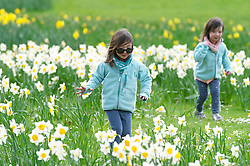 ©Licensed to London News Pictures 17/03/2020<br /> Greenwich, UK. Not a care in the world for these two sisters as they enjoy playing amongst the colourful spring Daffodils in Greenwich Park, Greenwich, London. (permission given from parent)  Photo credit: Grant Falvey/LNP