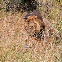 Africa, Kenya, Masai Mara. Lions mating in the Mara.