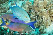 hunting coalition of blue goatfish or yellowsaddle goatfish, Parupeneus cyclostomus, and bluefin trevally or bluefin jack, Caranx melampygus, Kohanaiki, North Kona, Hawaii ( the Big Island ), USA ( Central Pacific Ocean )
