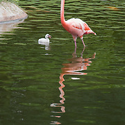 Flamingo and chick