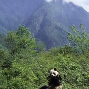 Giant Panda (Ailuropoda melanoleuca).  Wolong Natural Reserve in the Qionglai Mountains in Sichuan,  China.  Captive Animal.