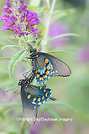 03004-01504 Pipevine Swallowtail (Battus philenor) male and female mating on Butterfly Bush (Buddleja davidii) Marion Co. IL