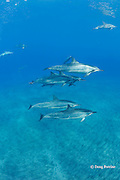 pod of Hawaiian spinner dolphins or long-snouted spinner dolphins, or Gray's spinner dolphins, Stenella longirostris longirostris, in rest mode; some dolphins are playing with leaves or pieces of trash; Hookena, Kona, Hawaii ( the Big Island ) Central Pacific Ocean