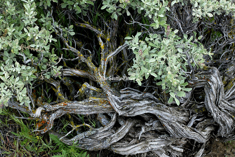 Gnarled and silvery sagebrush once covered much of the arid lands of the Northwest.  (Ken Lambert / The Seattle Times, 2003)