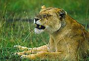 Bugged by flies. Lioness in Masai Mara, Kenya.