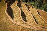 Young rice growing in steep terraces, Yen Bai Province, Northern Vietnam, Southeast Asia