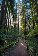A hiking trail meanders through a redwood forest at Armstrong Redwoods State Park, Guerneville, California
