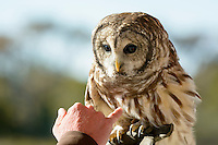 A naturalist shows off a Barred owl at Assateague Island Nation Seashore.