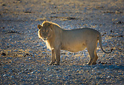 The lion (Panthera leo) is one of the big cats in the genus Panthera and a member of the family Felidae. The commonly used term African lion collectively denotes the several subspecies found in Africa. With some males exceeding 250 kg (550 lb) in weight, it is the second-largest living cat after the tiger. Wild lions currently exist in sub-Saharan Africa and in India. The lion is classified as a vulnerable species by the IUCN, having seen a major population decline in its African range of 30–50% per two decades during the second half of the twentieth century.<br /> <br /> In the wild, males seldom live longer than 10 to 14 years, as injuries sustained from continual fighting with rival males greatly reduce their longevity. They typically inhabit savanna and grassland, although they may take to bush and forest. Lions are unusually social compared to other cats. A pride of lions consists of related females and offspring and a small number of adult males. Groups of female lions typically hunt together, preying mostly on large ungulates. Lions are apex and keystone predators, although they are also expert scavengers obtaining over 50 percent of their food by scavenging as opportunity allows. While lions do not typically hunt humans, some have. Sleeping mainly during the day, lions are active primarily at night (nocturnal), although sometimes at twilight (crepuscular).<br /> <br /> Highly distinctive, the male lion is easily recognised by its mane, and its face is one of the most widely recognised animal symbols in human culture.