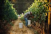 Anne_Amie_Pinot Noir Harvest for sparkling wine.